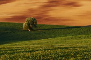 Golden colored weadow. Tree on green field in Moravia. Beautiful nature. Rural scene